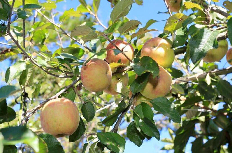 林佳龍參觀梨山蜜蘋果園 邀民眾品嚐「梨山五寶」