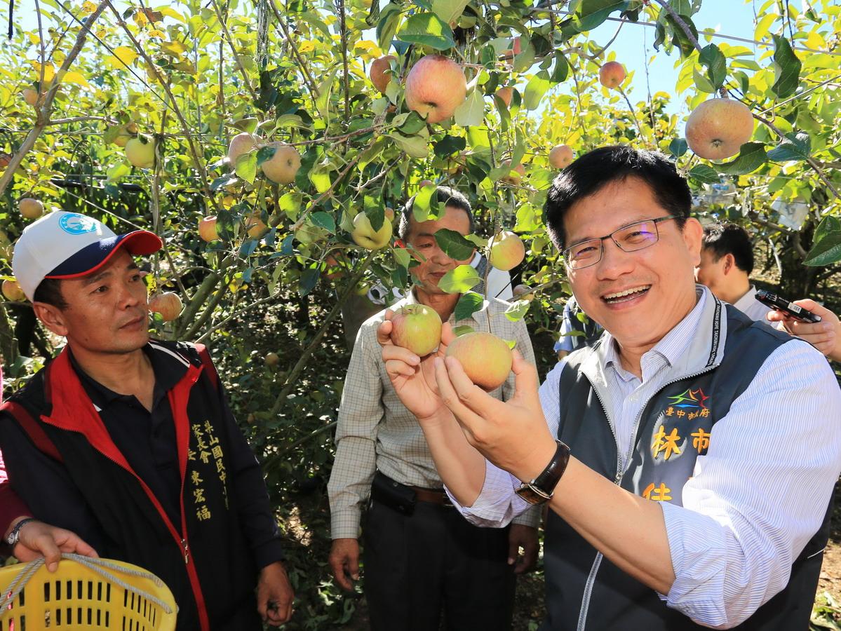 梨山密蘋果採收期 市長林佳龍參觀果園