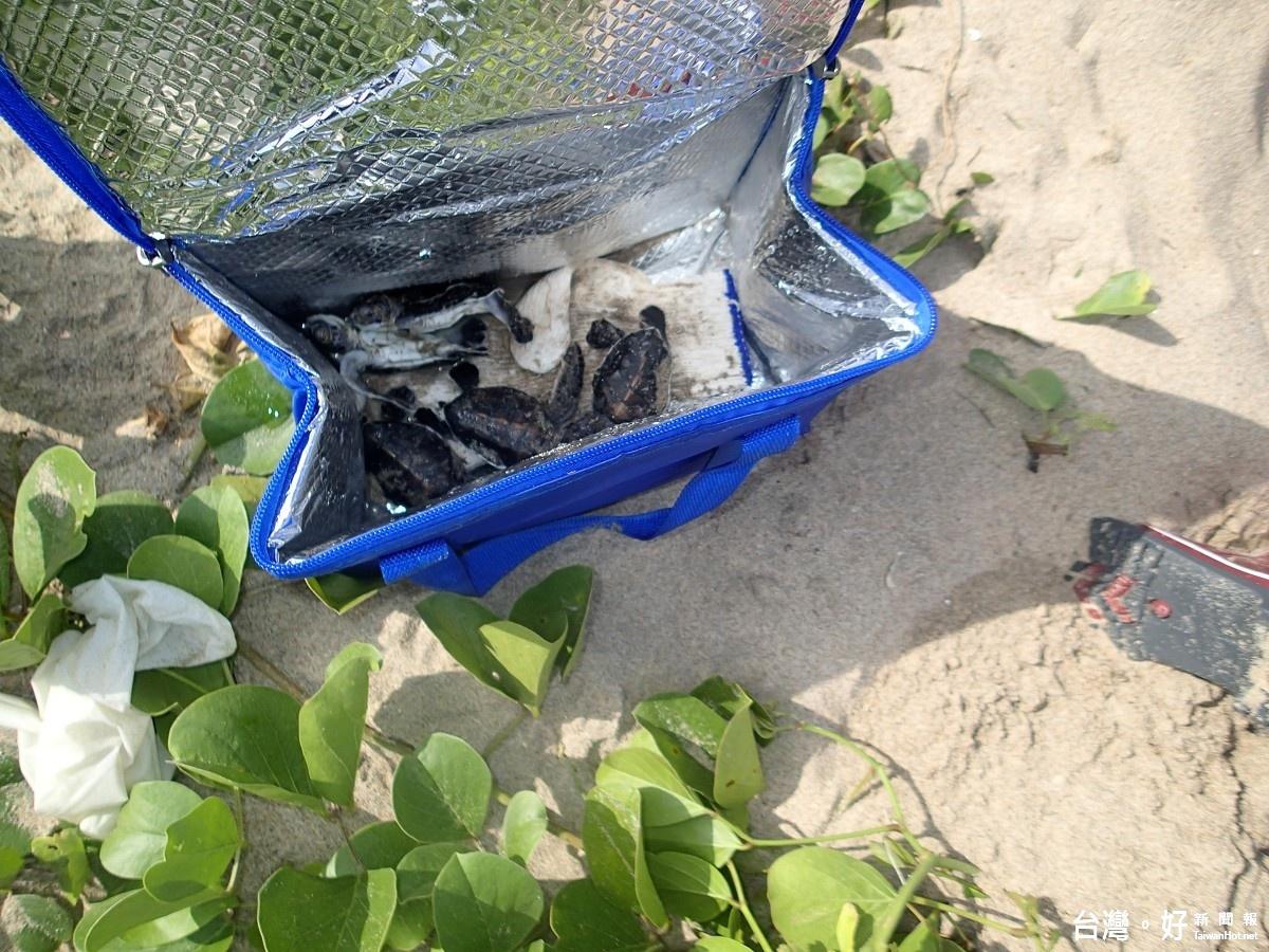 綠蠵龜嵵裡沙灘產卵 孵化率超出預期