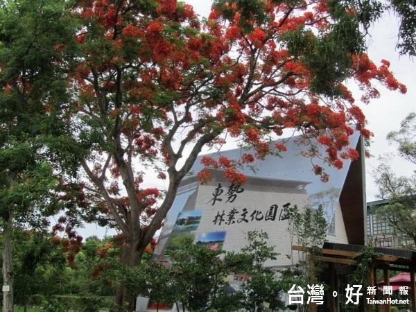 東勢林業文化園區內的鳳凰花盛開,引來賞花客如織。(記者黃玉鼎攝)