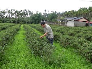花蓮縣積極發展有機農業,舞鶴山有機紅茶形成在地特色。(圖/記者賴淑禎攝)