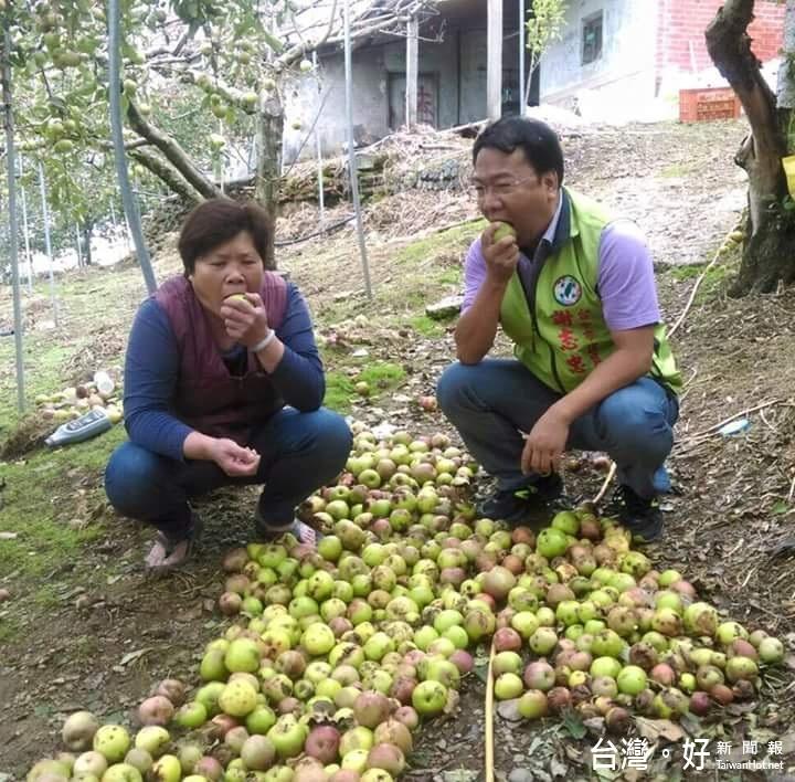 梨山蜜蘋果掉滿地 農民1年心血化為烏有
