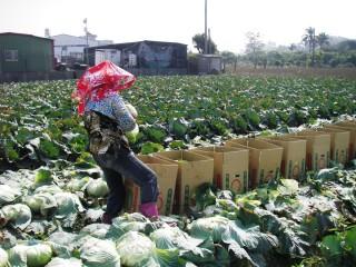 高麗菜1顆5元比茶葉蛋低,農糧署:天熱吃鍋的人少。