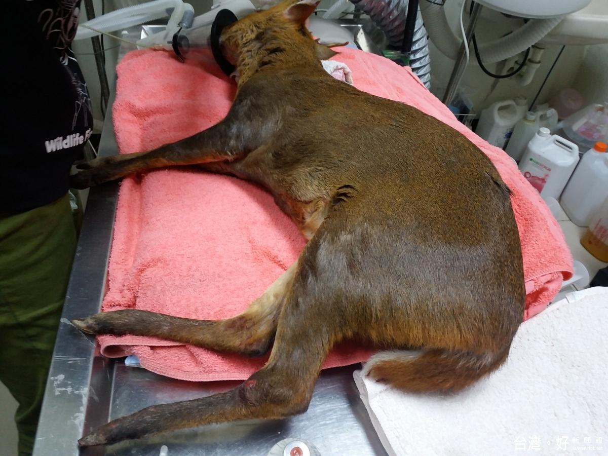保育類山羌被狗咬傷 民眾與公務員合力送醫