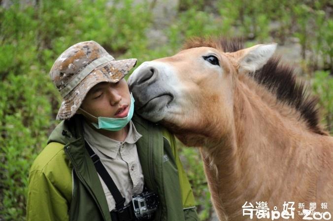 台北市立動物園的蒙古野馬「勇春」,是保育員心目中相對較「愛漂亮」的個體,不但非常享受保育員替牠梳理毛髮的過程,也因此和保育員培養出良好的默契。(圖/台北市立動物園)