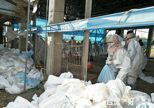 斗南雞場爆禽流感 撲殺2萬多隻土雞
