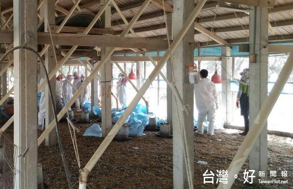 今年第2起!麥寮雞場爆禽流感 撲殺2千多隻黃金雞