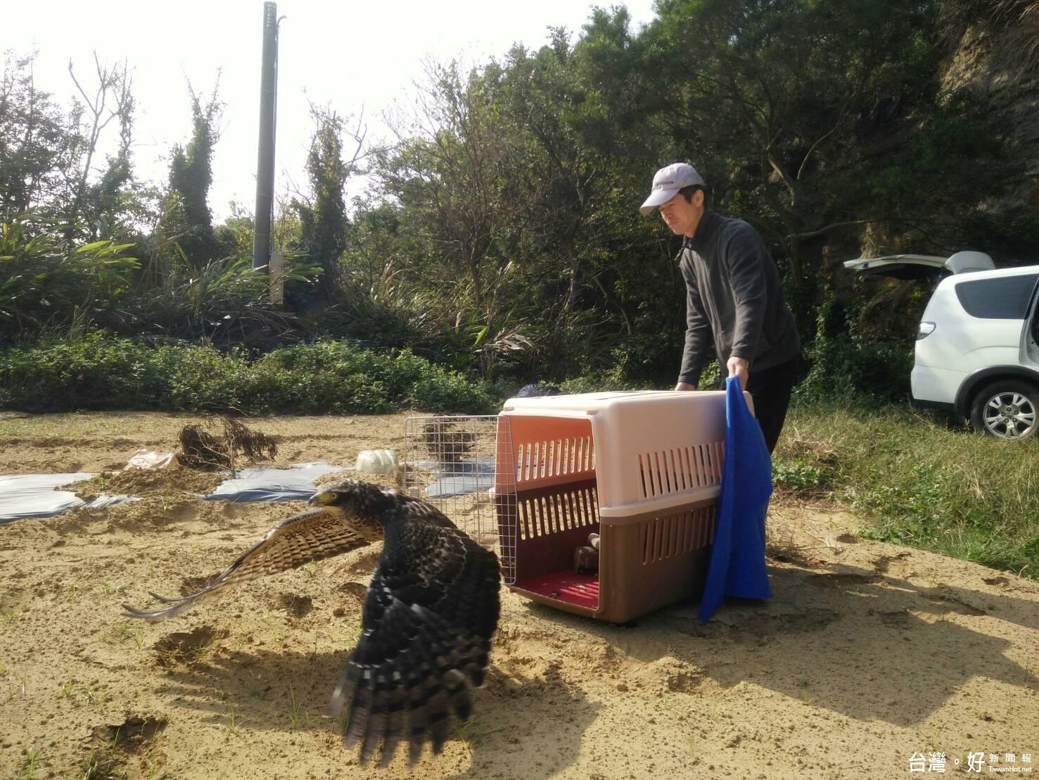 大冠鷲被獸夾夾傷 療養三週重回天際翱翔