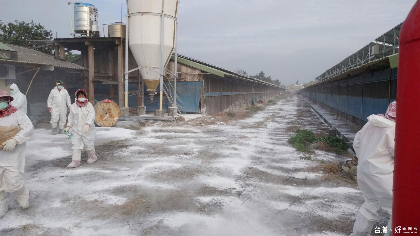 半個月累計6例禽流感 雲林撲殺近1萬6千隻雞