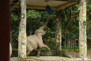 為了吃美食,大象起身打「拳擊沙包」(圖/台北市立動物園)