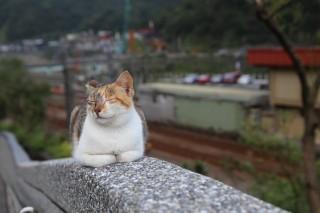 猴硐貓村-世界六大賞貓景點