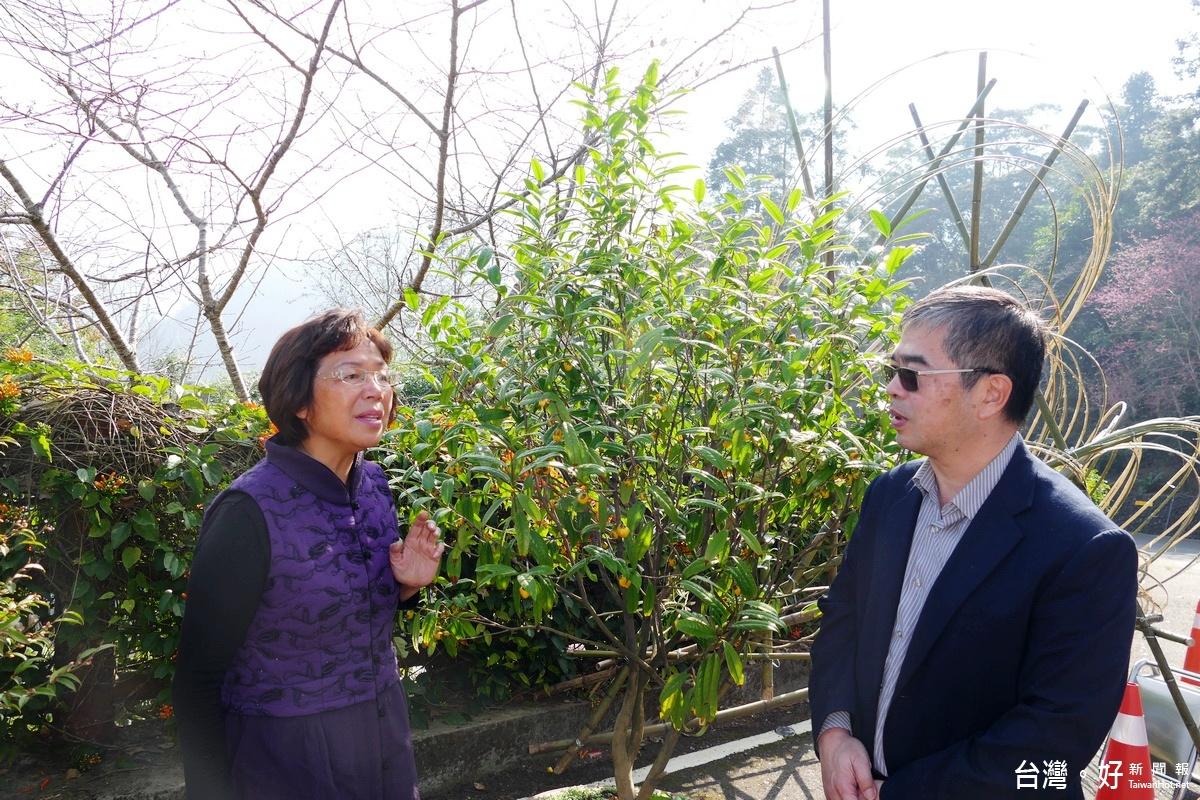 「東方小瑞士」賞茶花 200多歲老茶樹吸睛