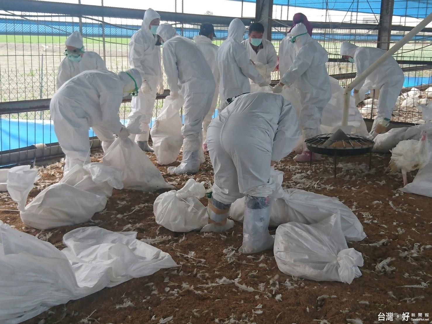 禽流感燒不停 雲縣撲殺1129隻火雞