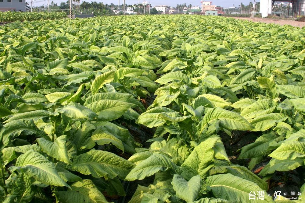菸害惹人厭 菸酒公司不再收購國產菸草 菸農輔導轉作
