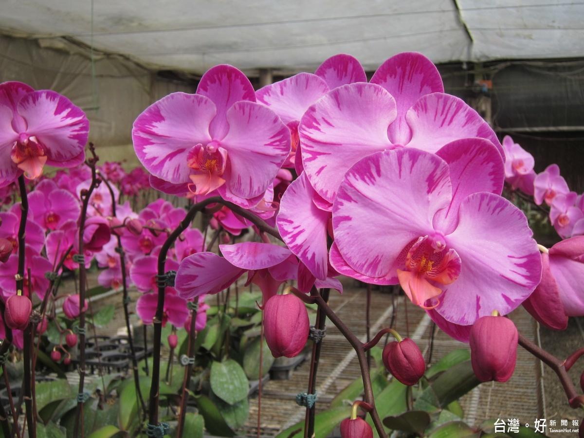 中寮蘭花達人蕭飛能 開創花卉觀光生態新亮點