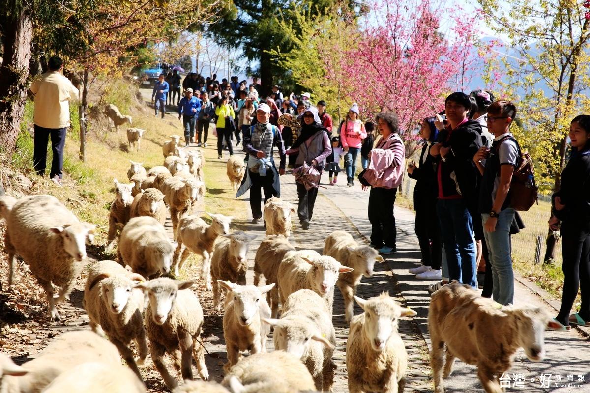 清境農場奔羊節 體驗高山牧羊樂趣