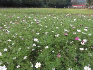 花團錦簇的波斯菊_調整大小+