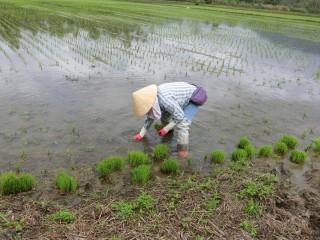 東豐休閒農業區的東豐拾穗農場推出田間農事體驗活動,讓遊客親自下田將被野鳥踩壞的秧苗,進行補秧。(記者賴淑禎攝)