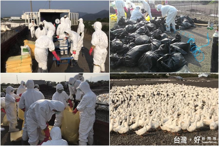 禽流感疫情持續延燒 宜蘭再撲殺6千隻鴨