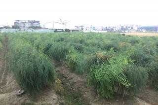 颱風加暖冬,台南將軍、佳里、西港等區栽種露天蘆筍只長葉子、不長筍,採收期得延後一個月,農民說「筍」失嚴重。(記者/黃芳祿攝)