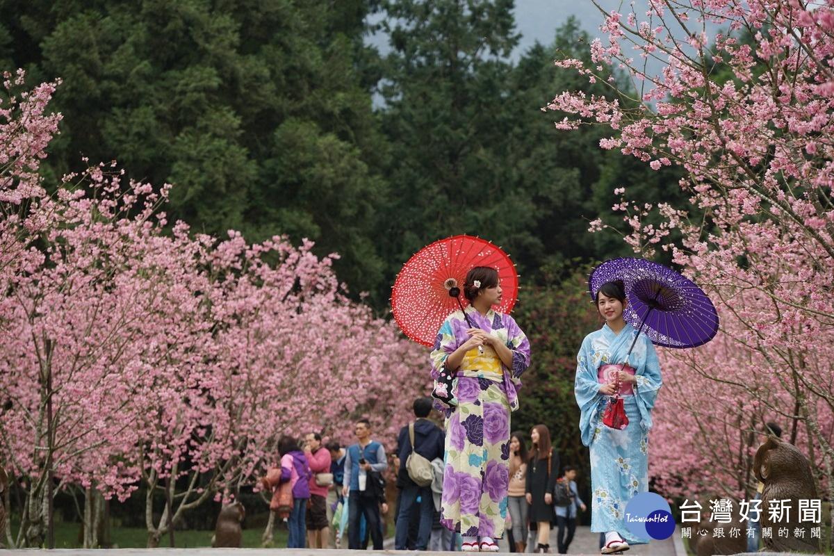 九族櫻花祭第2波富士櫻登場 回饋中部五縣市鄉親推特價