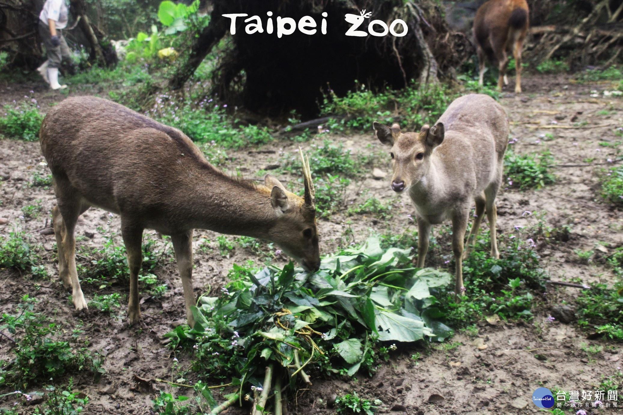 梅花鹿換皮長鹿茸 自然界時裝秀來了