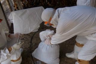 台南市關廟區一土雞場確診H5高病原性禽流感,25日馬上進行撲殺8,239隻並清場作業。(圖/台南動保處)