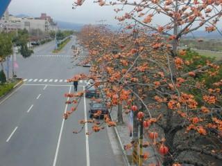 東勢河濱公園旁逾一公里長木棉樹花開時,美不勝收。(記者黃玉鼎攝)
