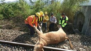 台東6隻牛闖鐵道遭撞死 區間車受損嚴重(圖/台鐵提供)