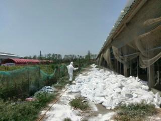 業者主動通報土雞染禽流感 家畜所完成撲殺作業