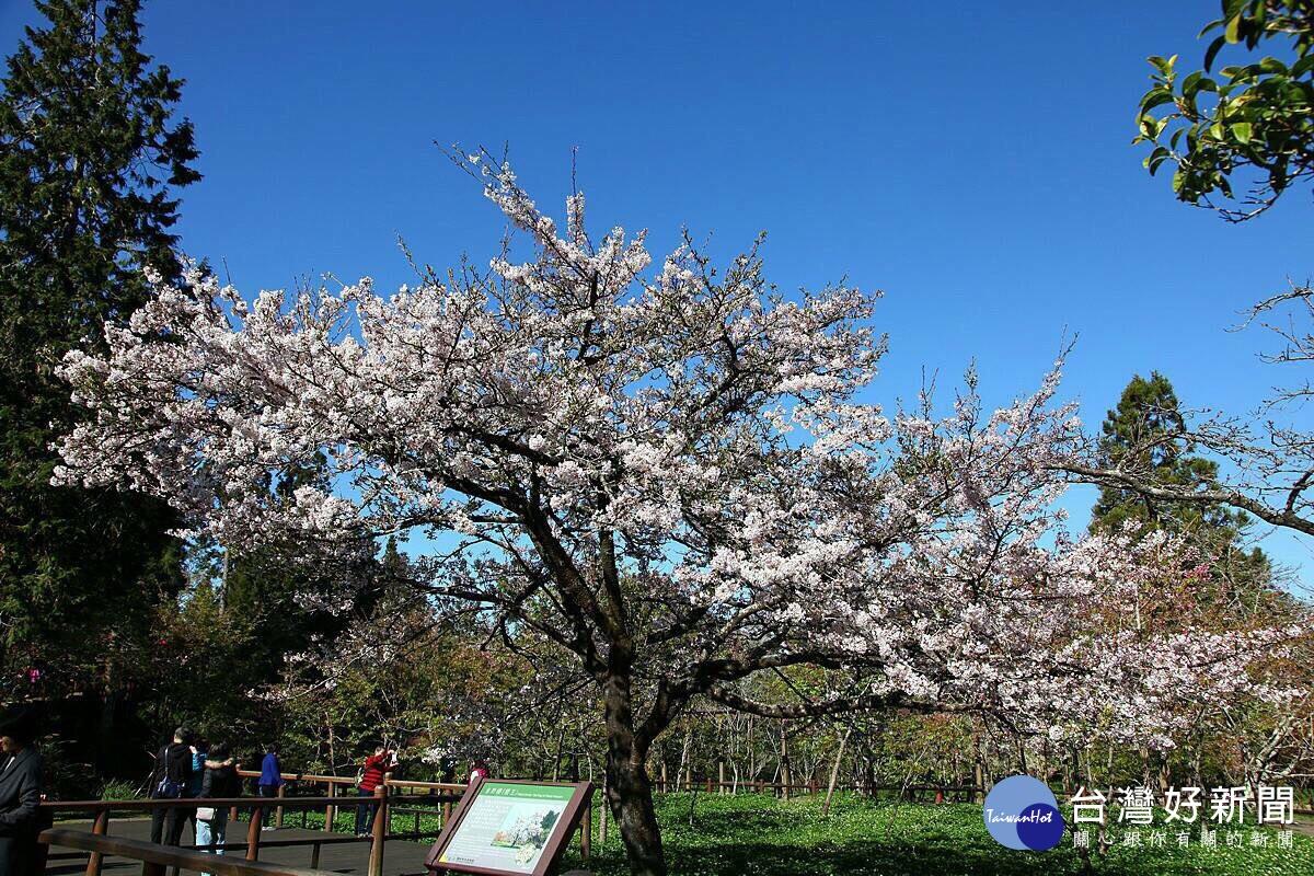 阿里山花季15日登場 櫻王預估3月底至4月初滿開