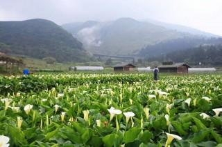 陽明山頂湖海芋花況佳,想看夢幻白色花海趁現在。(圖/取自台北市政府網站)