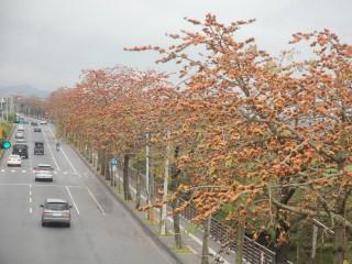 台八線道路東勢區路段往年木棉花盛開時,成為地方的賞花勝地,但近兩年已不見如此美景。(記者黃玉鼎攝)