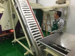 坪林農會引進最新電腦色彩選別機,效率加倍。