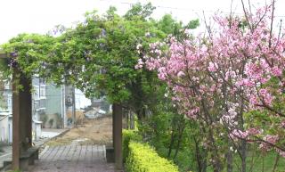 富士櫻盛開 千甲河畔花期與日本同步