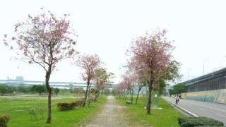 來河濱公園獵豔吧!苦楝、羊蹄甲、流蘇花開春意正濃。(圖片來源/新北市政府)