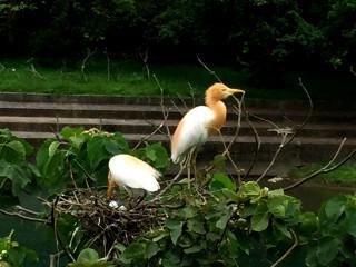 坪林親水公園鷺鷥繁殖 吸引民眾觀賞
