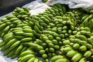 中寮鄉香蕉品質特優,面積可觀。(記者扶小萍攝)