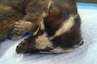 白河山區發今年第3起咬人感染狂犬病鼬獾咬人。(圖/動保處提供)