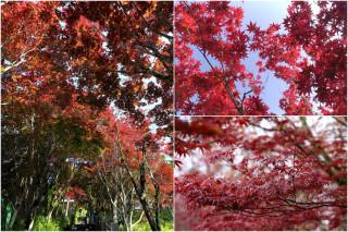 太平山上的紫葉槭,再度火紅迎賓。(圖/記者陳木隆攝)