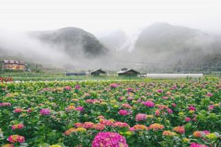 財福繡球花(圖/北投區農會提供)