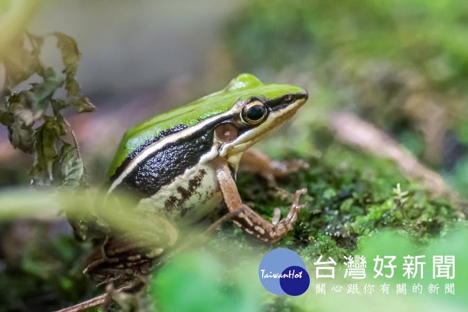 梅雨季進入繁殖期 台北赤蛙產卵量、孵化率較往年提升(圖/台北市立動物園)