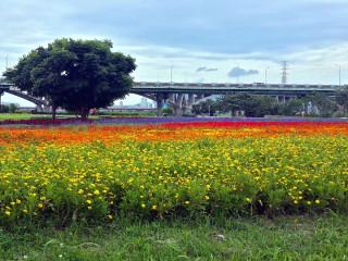 位於江翠礫間水岸公園內用花草打造的步道地景,近期花海盛開,成為板橋新的美景。(圖/記者黃竹佑攝)
