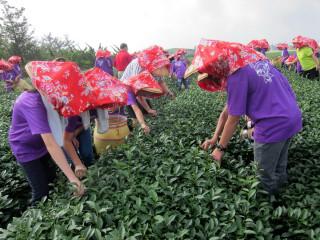 弓鞋國小畢業班同學採茶初體驗。( 記者扶小萍攝)