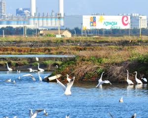 成群的白鷺在六輕的隔離水道戲水飛翔。