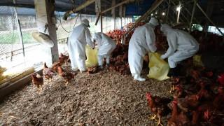禽流感發生場已採取撲殺清場措施(圖/屏東縣政府農業處提供)