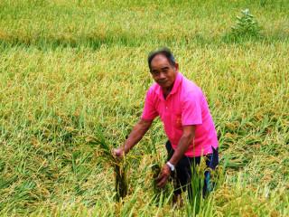 大雨停了稻作也泡湯 南彰化稻農損失慘重