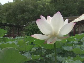 竹科靜心湖蓮花開 湖畔美景超吸睛