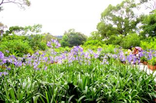 上山「走一夏」,倘佯藍紫色的浪漫花海,感受初夏氛圍。(圖/台北市政府工務局提供)