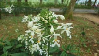 桃園市政府風景區管理處為發展原生花卉觀光,辦理根節蘭花季,以花會友,歡迎舊雨新知一起來賞花。